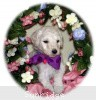 A picture of Toshiro, a white standard poodle puppy