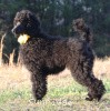 A picture of Sunridge Unforgettably Elegant Princess, a blue standard poodle