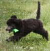 A picture of Sylvie, a silver standard poodle puppy