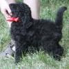 A picture of Sunridge Bilbo Baggins, a  standard poodle puppy