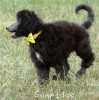 A picture of Sunridge Prince in the Midnight Moonlight, a abstract silver standard poodle puppy