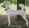A picture of Parnell, a white standard poodle