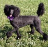 A picture of Zaree, a black standard poodle