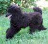 A picture of Brienwoods Impressive Leap, a black standard poodle
