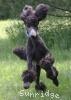 A picture of Sunridge Unforgettable Dreamz of Paris, a blue standard poodle
