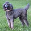 A picture of Sunridge Gallant Midnight Warrior, a silver standard poodle