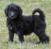 A picture of Sterling, a abstract silver standard poodle puppy