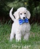 A picture of Gabriel, a white standard poodle puppy