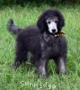 A picture of Prairieland Silver Knight, a silver standard poodle