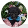 A picture of Blare, a silver standard poodle puppy