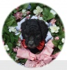 A picture of Wes, a silver standard poodle puppy