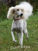 A picture of Sunridge Impressive Dreamz, a cream standard poodle