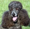 A picture of Sunridge Blue Lace Masterpiece, a blue standard poodle