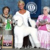 A picture of Timber Ridges Untouchable, CH, a white standard poodle