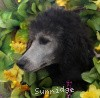 A picture of Sunridge Untouchable Vision, a silver standard poodle