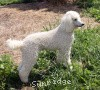 A picture of Sunridge Exquisitely Elegant Lilly, a white standard poodle