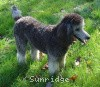 A picture of Sunridge Crystal Vision, a silver standard poodle