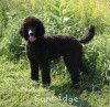 A picture of Sunridge Midnight Princess, a blue standard poodle