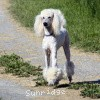 A picture of Mill Rose Masterpiece, a white standard poodle
