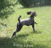 A picture of Sunridge Twilight Over Mount Bethel, a blue standard poodle