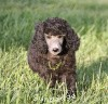 A picture of Sunridge Gallant Midnight Warrior, a silver standard poodle