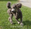 A picture of Sunridge Midnight Moondance, a silver standard poodle