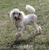 A picture of Sunridge Untouchable Elegance, a white standard poodle