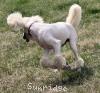 A picture of Sunridge Untouchable Elegance, a white standard poodle