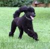 A picture of Sunridge Untouchable Dark Skye, a blue standard poodle
