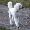 A picture of Sunridge Fire In The Moonlight, a white standard poodle
