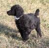 A picture of Sunridge Untouchable Twilight Reverie, a black standard poodle