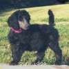 A picture of Sunridge Warrior Princess, a silver standard poodle