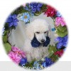 A picture of Sunridge Vision In the Moonlight, a white standard poodle