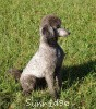 A picture of Sunridge Warrior Princess, a silver standard poodle