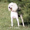 A picture of Sunridge Unforgettable Dreamz, a white standard poodle
