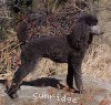 A picture of Amandi's Midnight Blue, a blue standard poodle