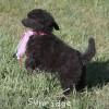 A picture of Sunridge Untouchably Exquisite, a silver standard poodle