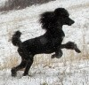 A picture of X. Firefly Of Sunridge, a blue standard poodle