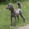 A picture of Sunridge Midnight Warrior, a blue standard poodle
