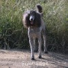 A picture of Sunridge Midnight Warrior Prince, a silver standard poodle