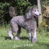 A picture of Sunridge Crystal Princess, a silver standard poodle
