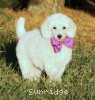 A picture of Sunridge Exquisite Dreamz, a white standard poodle
