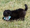 A picture of Sunridge Untouchable Twilight Princess Leaha, a silver standard poodle