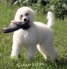 A picture of Brienwoods Goddess of the Moon, a white standard poodle