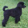 A picture of Brienwoods Goddess of the Night, a black standard poodle
