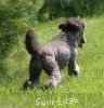 A picture of Sunridge Untouchable Twilight Princess, a silver standard poodle