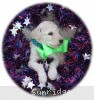 A picture of Sunridge Sweet Dreamz in the Moonlight, a white standard poodle