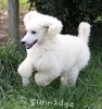 A picture of Prairieland Rock Me Babe, a white standard poodle