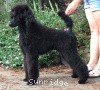 A picture of Brienwoods Impressive Leap, a black standard poodle