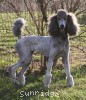 A picture of X. Twilight Princess, a silver standard poodle